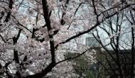 「桜」ではなく「サクラ」のご紹介